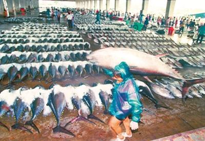 1980年代末至2000年代初是台灣鮪釣黃金時期,漁獲最多的東港鮪魚卸貨場面極為壯觀。(黃子明攝)
